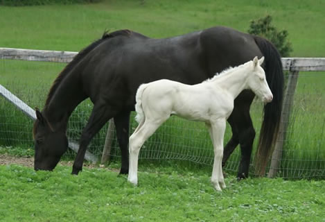 Cremello quarter horse filly by Vanilla Zip
