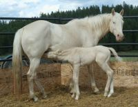Cremello mare and colt