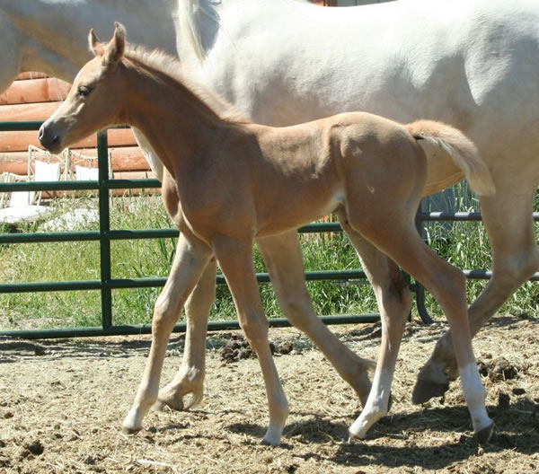 Palomino Arabian filly, Afire Bey V, Emerald Afire AA daughter