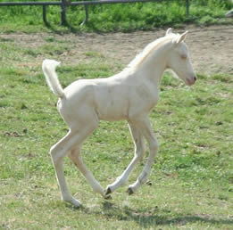 Cremello Arabian stallion at Krisean Performance Horses