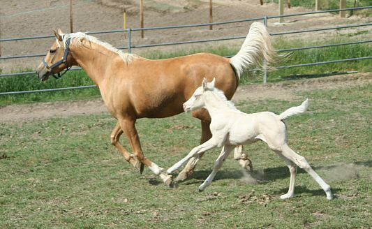 Arabian palomino and Arabian cremello colt