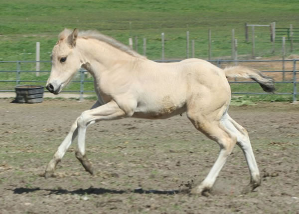 AQHA dun filly, Hollywood White, Jumping Jack Whiz