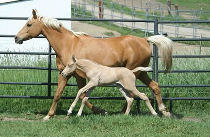 Arabian palomino filly by AQHA perlino stallion High N Command