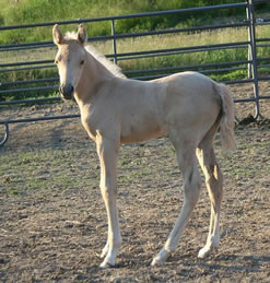 Palomino Arabian filly at Krisean Performance Horses