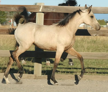 half Arabian buckskin filly, GS Khochise granddaughter