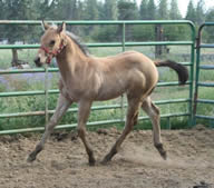 Creamy Mocha excellent perlino quarter horse stallion available for lease