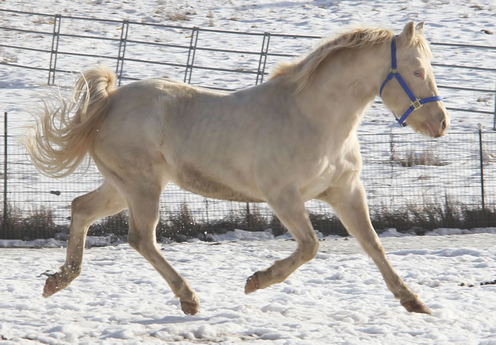 Perlino quarter horse stallion - photo#15