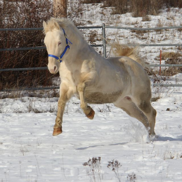 Perlino quarter horse stallion - photo#16
