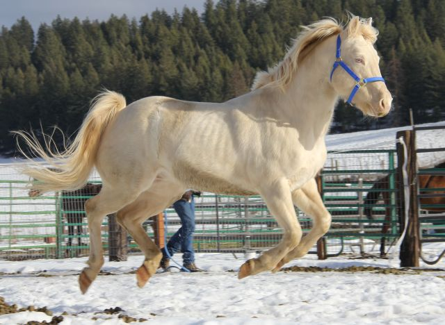 Perlino quarter horse stallion - photo#28
