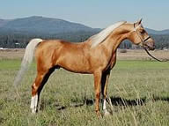 Palomino Arabian stallion